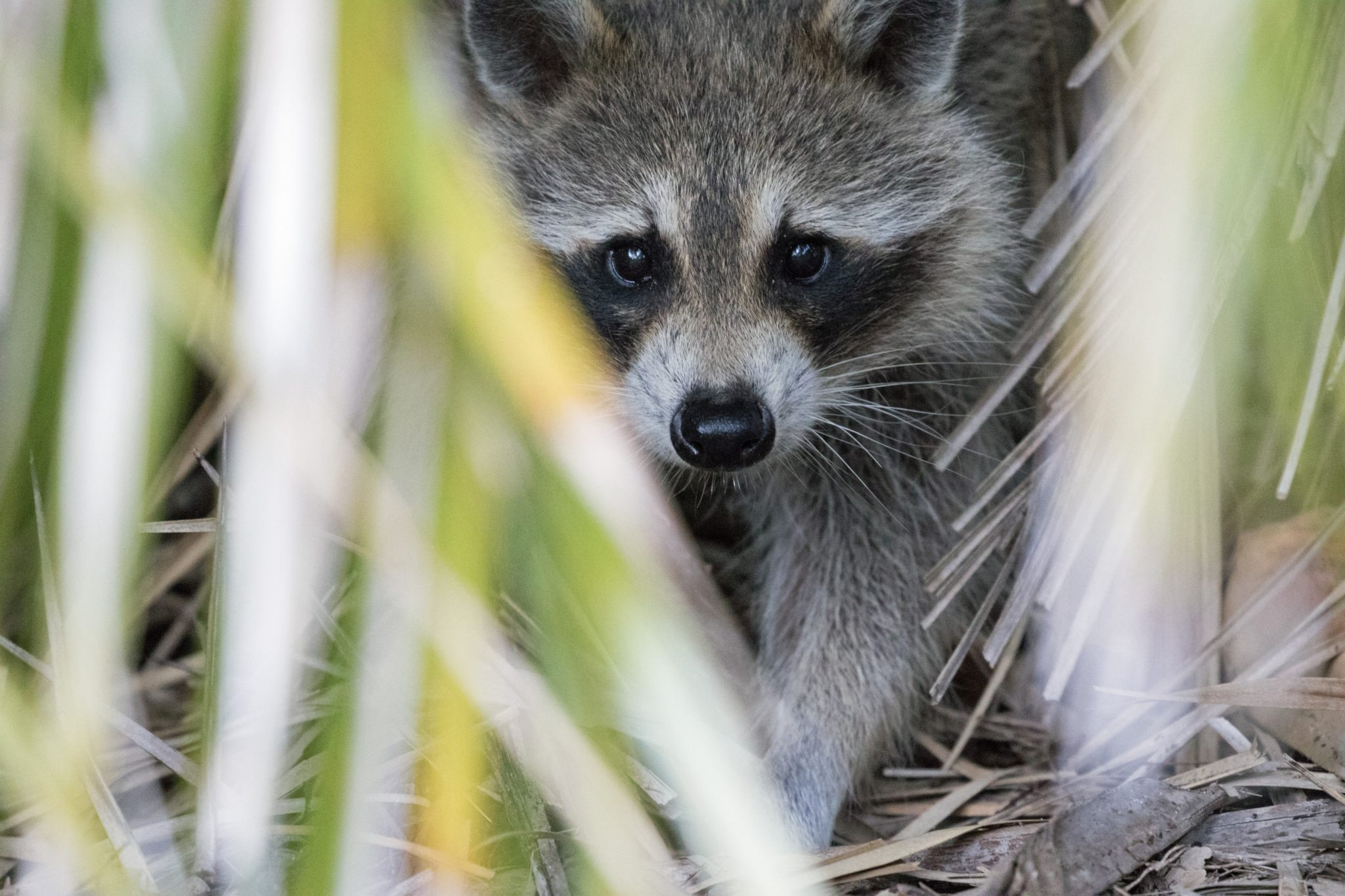 Racoon of Key Biscayne
